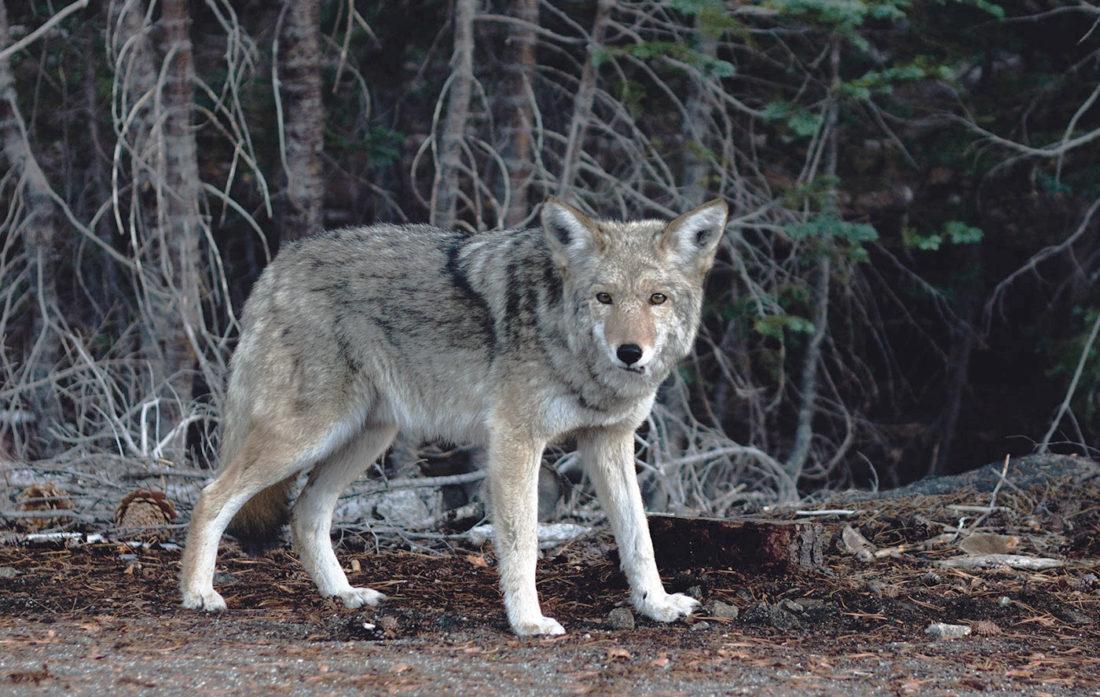 Alone Wolf